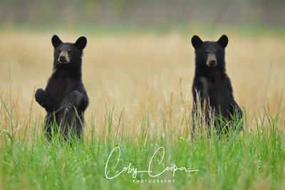 Brother Bears AD8I8917 copy Sig