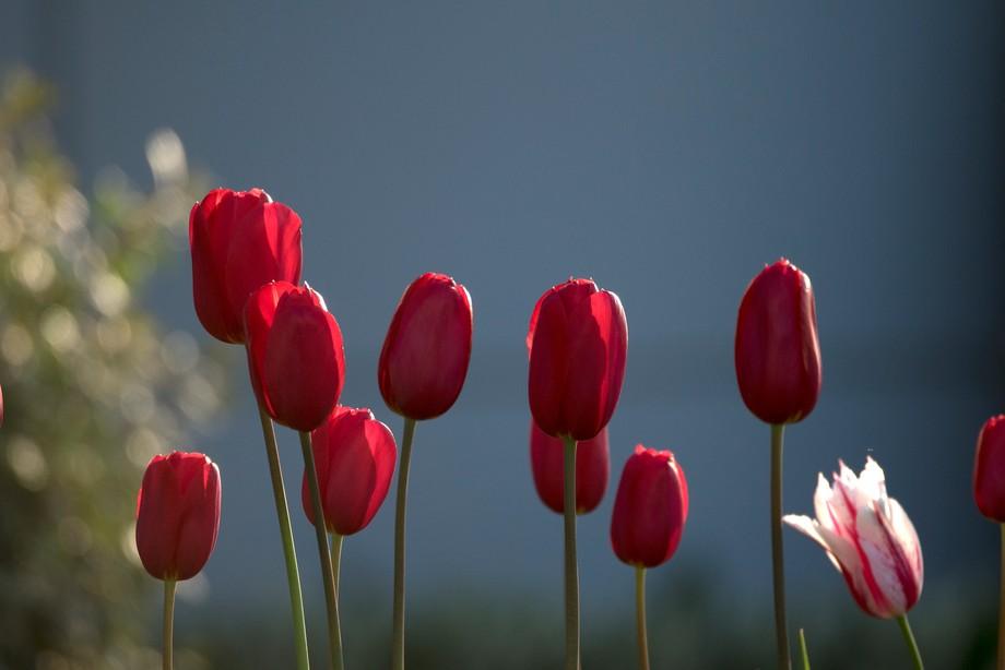 Tulips_1345