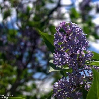 Lavender Bloom in Sunshine