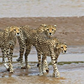 This cheetah family -- mom and two older cubs -- gingerly made their way across a shallow river in northern Kenya.