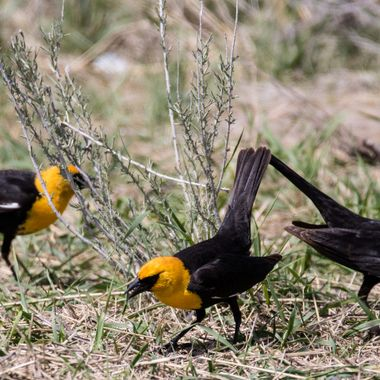 Yellow headed Blackbirds feeding