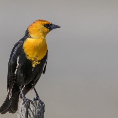 0P6A6268 Yellow headed Blackbird