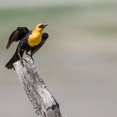 0P6A6298Yellowheaded Blackbird