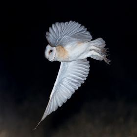 Coruja-das-torres, Barn Owl (Tyto alba) Vila Franca de Xira, Portugal - 2017.11.21  * xPLUG mount for TK35 - https://youtu.be/1FwY1t-10-Y