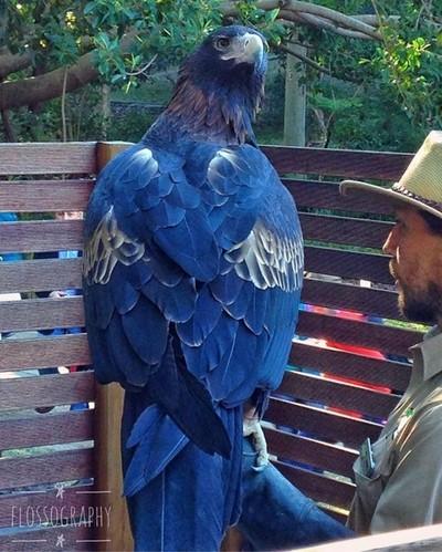 Wedge tailed eagle @ Currumbin Wildlife Sanctuary #australiagram #focusaustralia #ig_discover_australia #australia_shotz #ig_down_under #ig_creativephotography #instalike #ig_aussiepix #1more_australia #queensland_captures #loveyouqueensland #thisisqueens