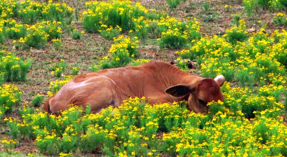 YOUNG COW NAPS ON BED OF FLOWERS
