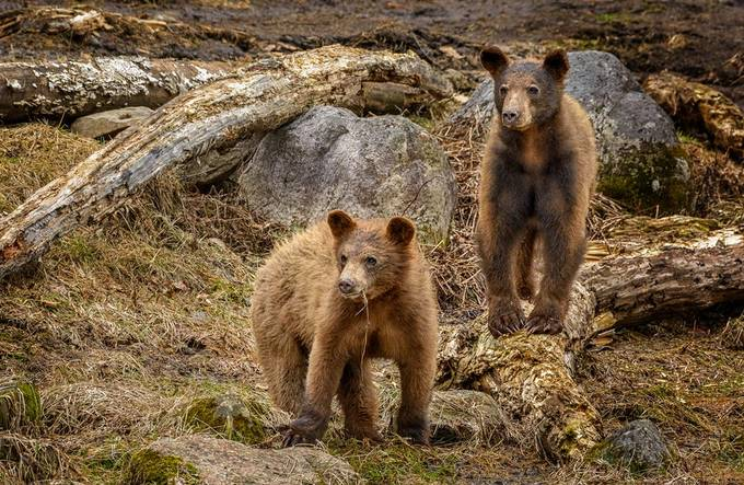 Spring bear cubs by Jean-Francois - Image Of The Month Photo Contest Vol 33