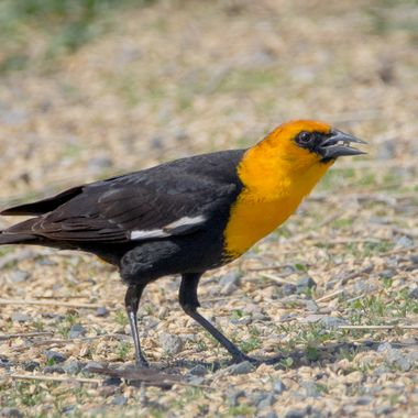 Yellowheaded Blackbird feeding
