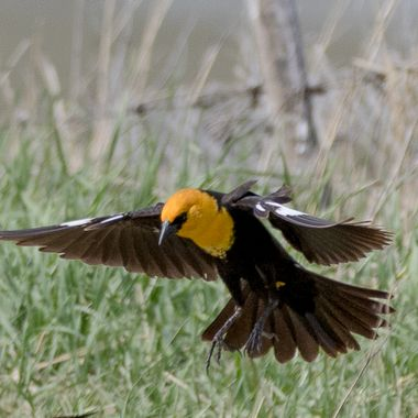 Yellowheaded blackbird in flight