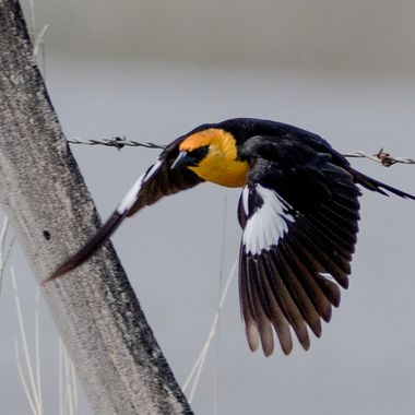 Yellowhead in flight
