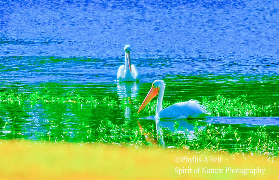 White Pelicans resting in small lake.