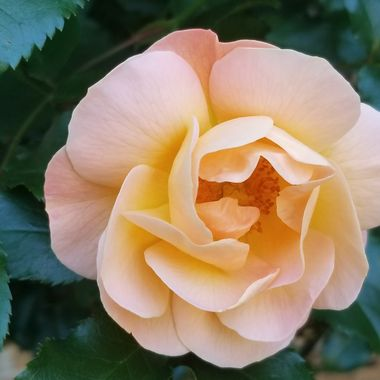 This rose has a nice warm color.
