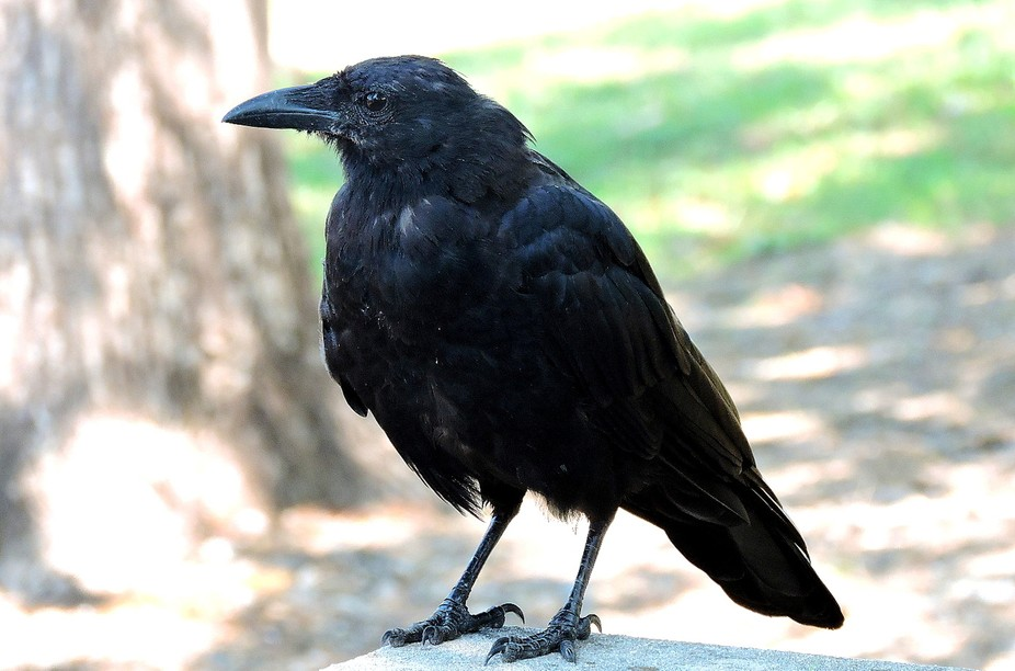 Raven, trying to help himself to our lunch at a park in Arkansas.