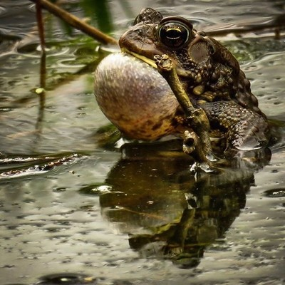 My ears were ringing. American Toad calling for a mate.  #trailsend #americantoad #amphibian #naturephotography #reflection #wander #wetlands #outthebackdoor #backyardnature #canon_photos #canonwhatelse #naturyst #featured_wildlife #adkphotoclub #naturaln