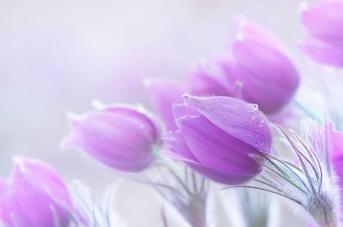 The gentlest color of spring  by Bastetamon - Pastel Colors Photo Contest