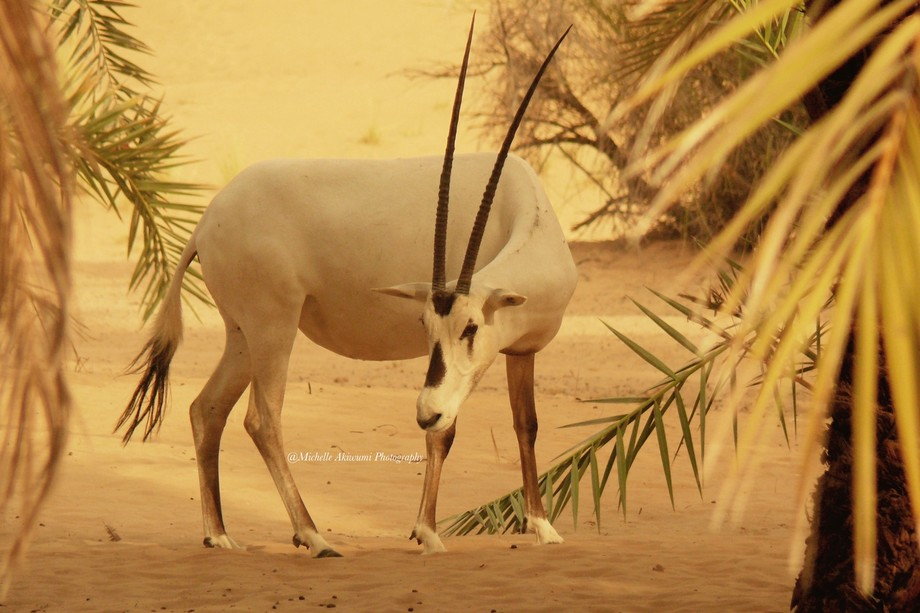 Arabian Oryx walking in the desert
