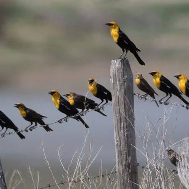 0P6A6372Yellowheaded Blackbirds