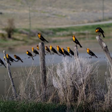 one and twenty blackbirds sitting on a fence