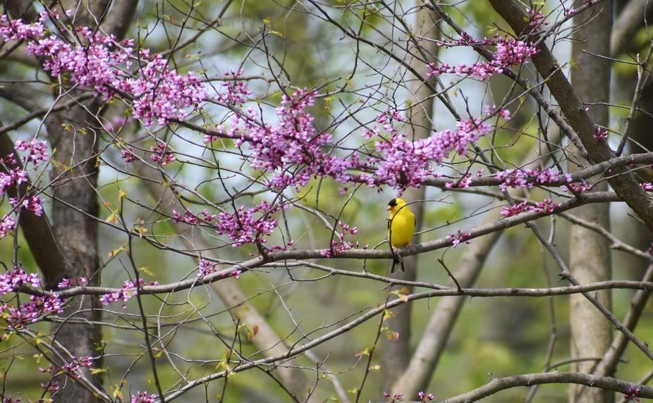American Goldfinch m.