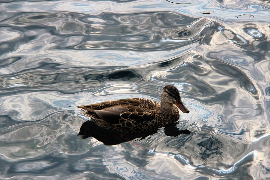 Female duck spotted on Lake Ontario. Loved how the light reflected off the water during these shots.