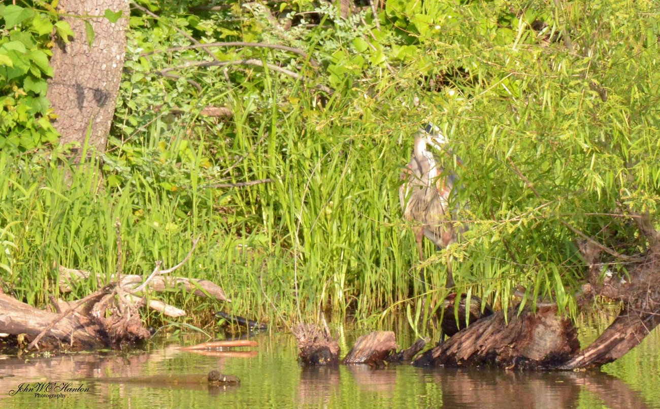 D71_5457  Blue Heron in hiding