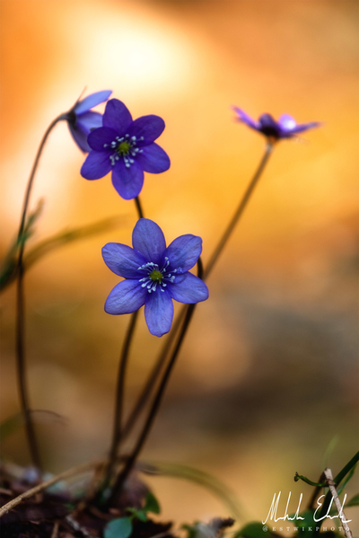 Blue anemone