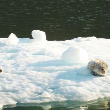 Seals sunning onan iceberg.