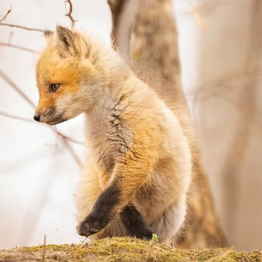 "A Two Week old fox kit playing o top of the den.  Copyright Notice: ALL IMAGES on this web site are protected by the U.S. and international copyright laws, all rights reserved. The image may not copied, reproduced, manipulated, or used in any way, without written permission of Jelieta Walinski Ph.D, & Walinski's Inner Vision Photography a licensed owner. Any unauthorized usage will be prosecuted to the full extent of US Copyright Law.  Ang larawan na ito ay copyrighted kaya huwag mag-atubiling kopyahin, o ""mag-screenshot"", huwag imanipula, at aangkinin.Alalahanin na araw-araw ko minomonitor ang mga larawan mo..   'STEALING IS A CRIME!"""
