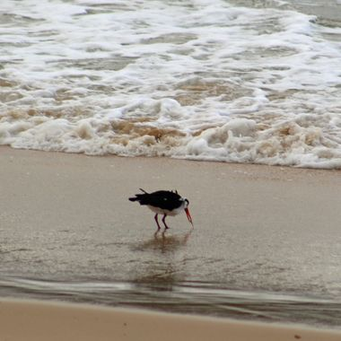 Pied oyster catcher fishing