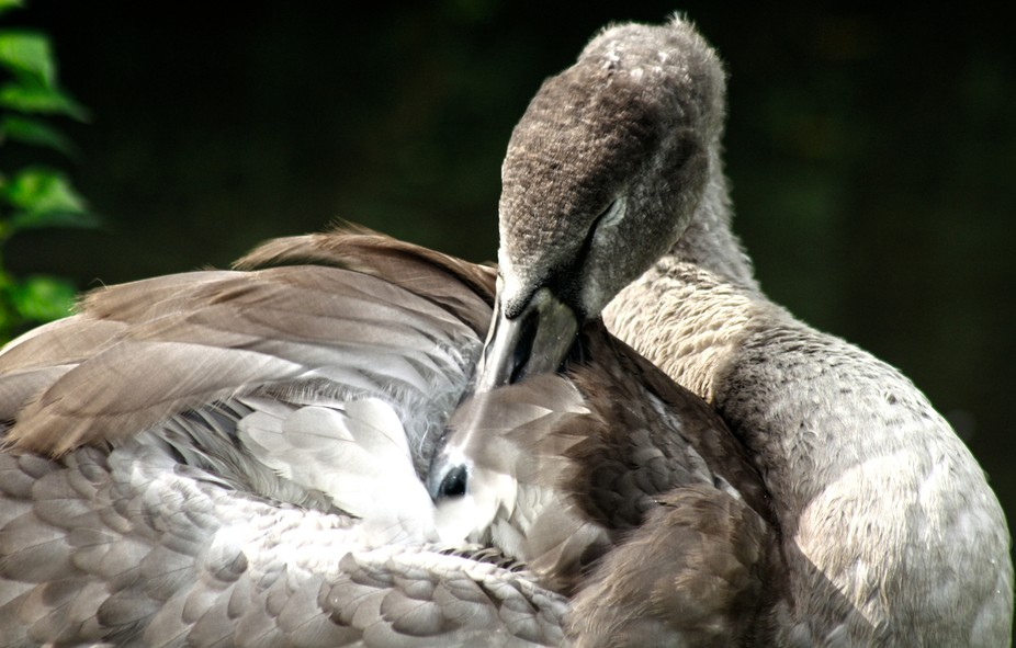 this photo was taken at Arundle castle, generations of swans live on the moat surrounding the anc...