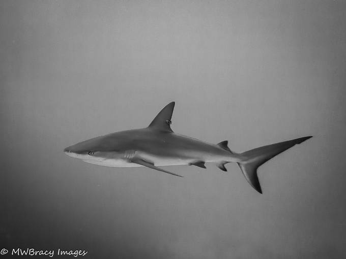 Shark b&w  by Bracy10 - Image Of The Month Photo Contest Vol 33