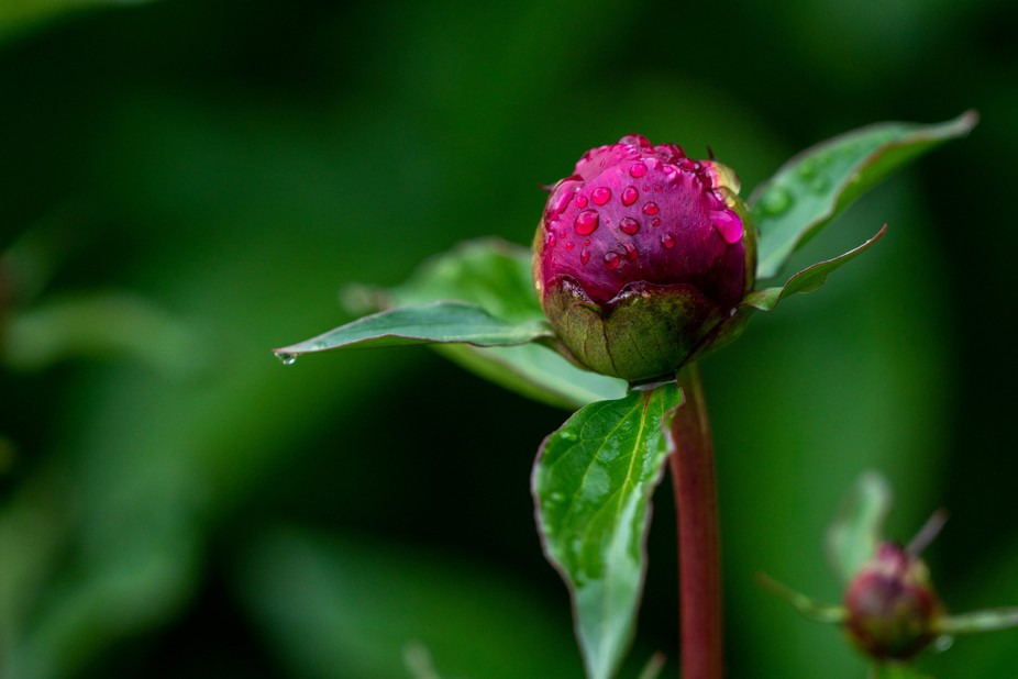 Peony bud after the storm