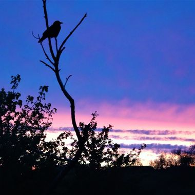 Chasing a photo of a lovely sunset in my home town caught sight of this bird silhouette against the colouring sky .