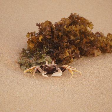 crab and seaweed