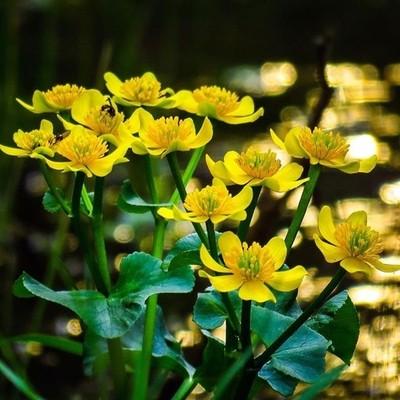 A Mother's Day bouquet ,Marsh Marigolds by the brook.  #trailsend #mothersdaybouquet #wildflowers #bokeh #wildflowerphotography #wander #wetlands #outthebackdoor #backyardnature #raw_flowers #pocket_flowers #canon_photos #canonglobal #adkexplorerpix #got_