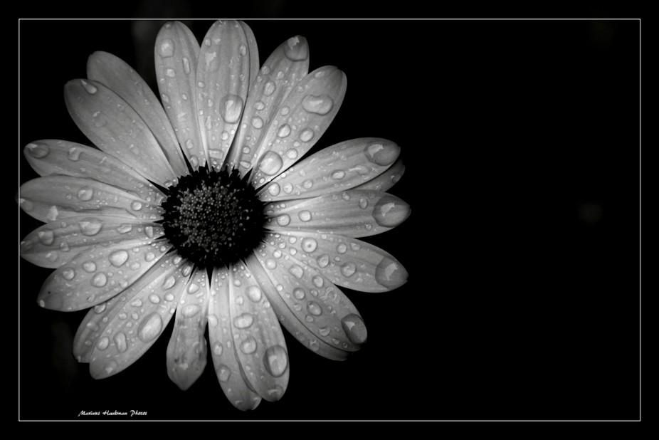 raindrops on daisy (black and white)