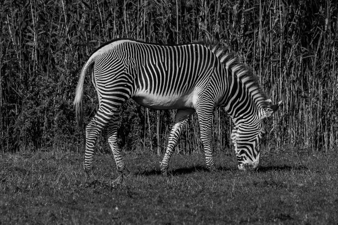 B & W Zebra