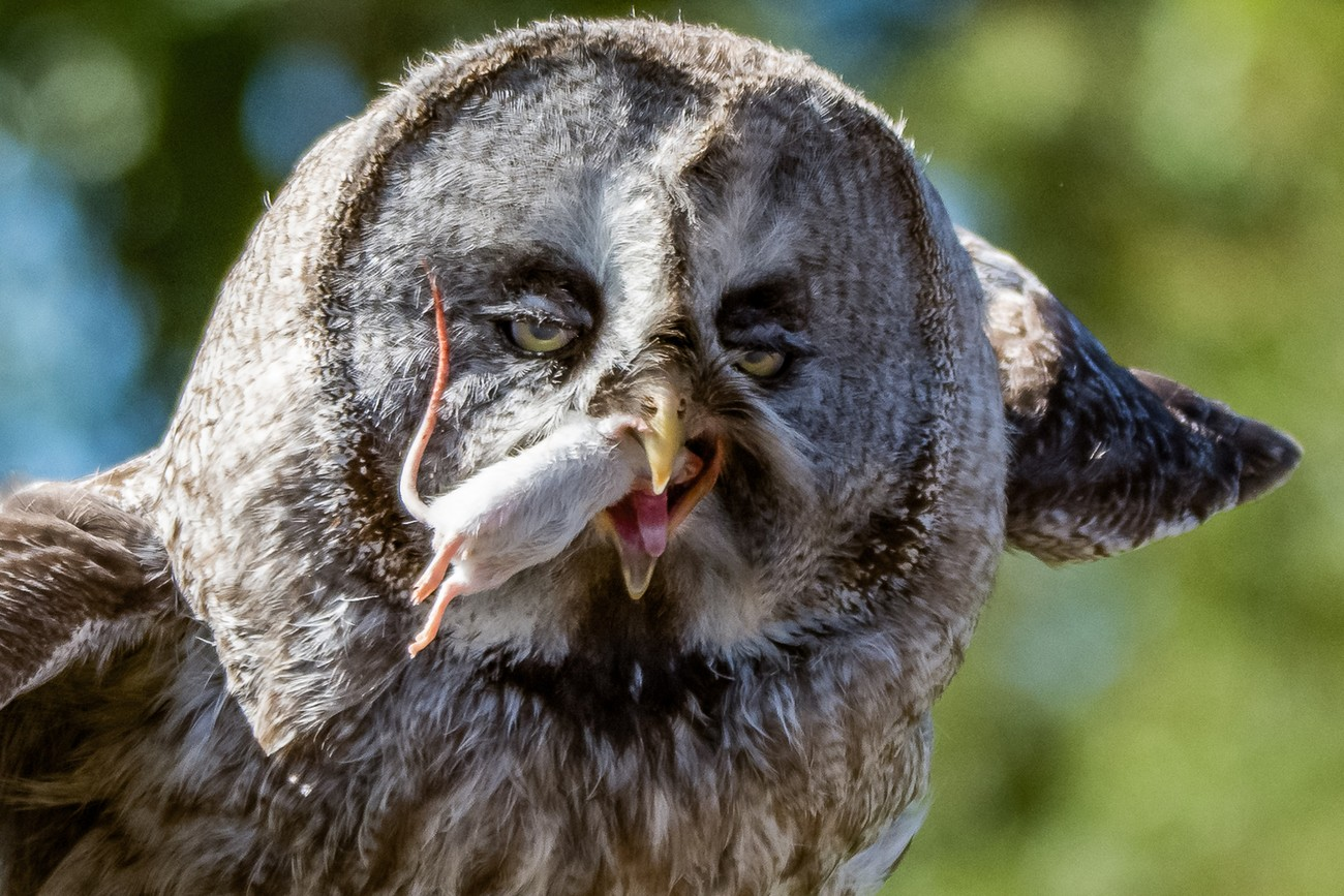 Great Grey Owl having Lunch