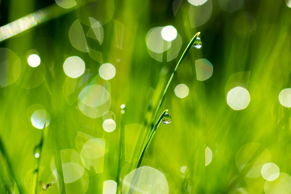 An ant's eye view of grass shining with guttation