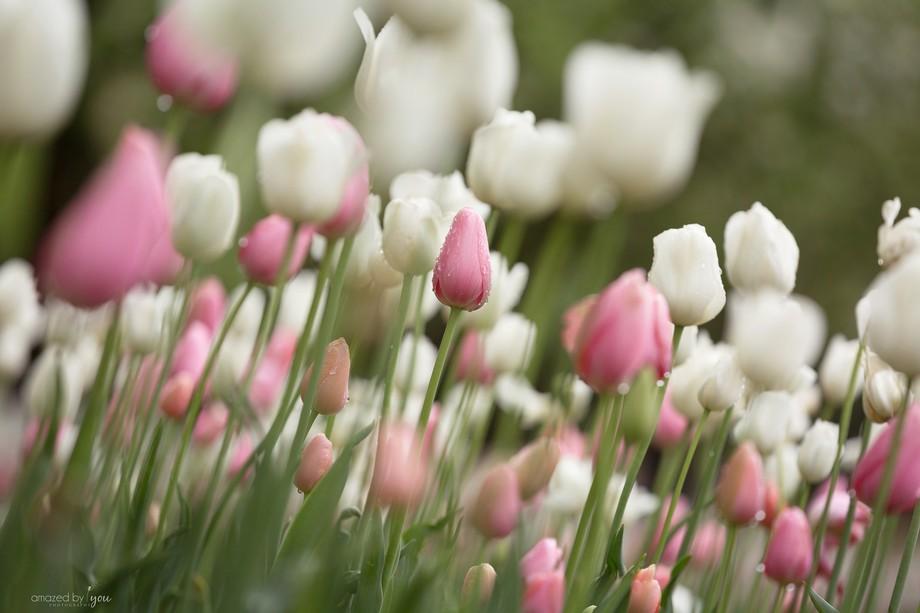 Whispery Tulips