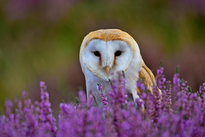 DSC_8206 Barn Owl in heather 2  2017