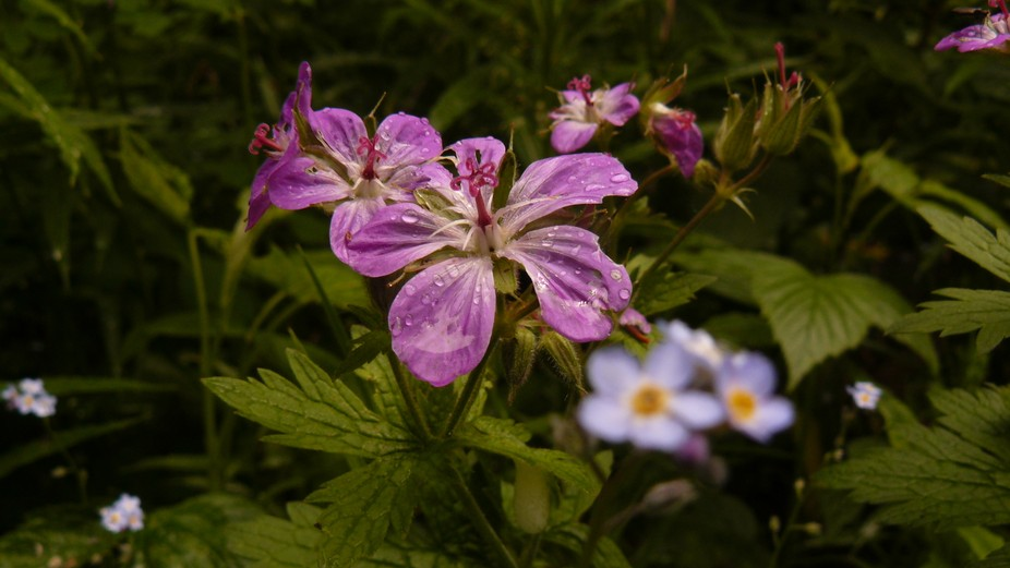 geranium in the mountains