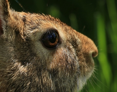 Eastern Cotton-tail Close-up