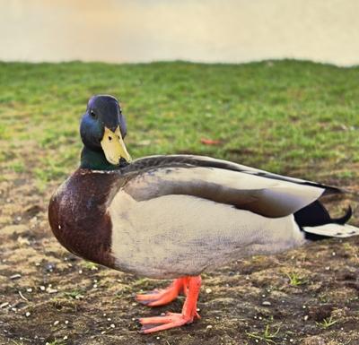 Elegant Duck