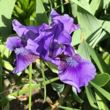 Iris flower taken with my iphone