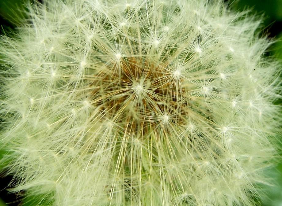 A Seedy Dandelion