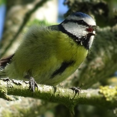 Singing Bluetit