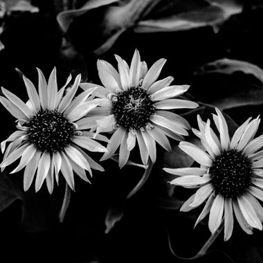 Another Black and white shot of sunflowers