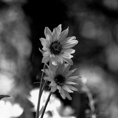 A Black and white shot of a  sunflower
