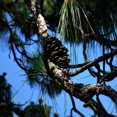 Pine Cone in Giant Pine Tree
